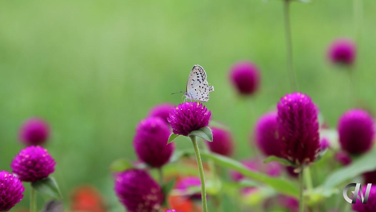紫の花の蜜を吸っている白い蝶々