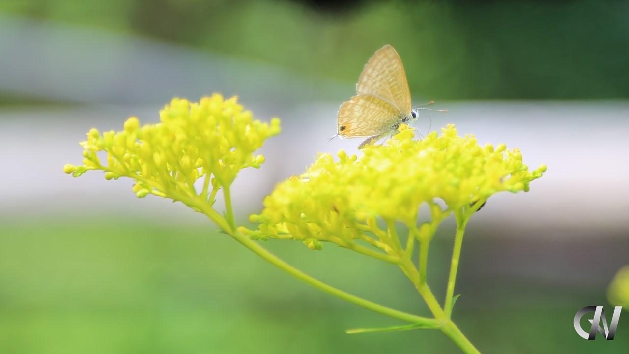 黄色い花の蜜を吸っている蝶々