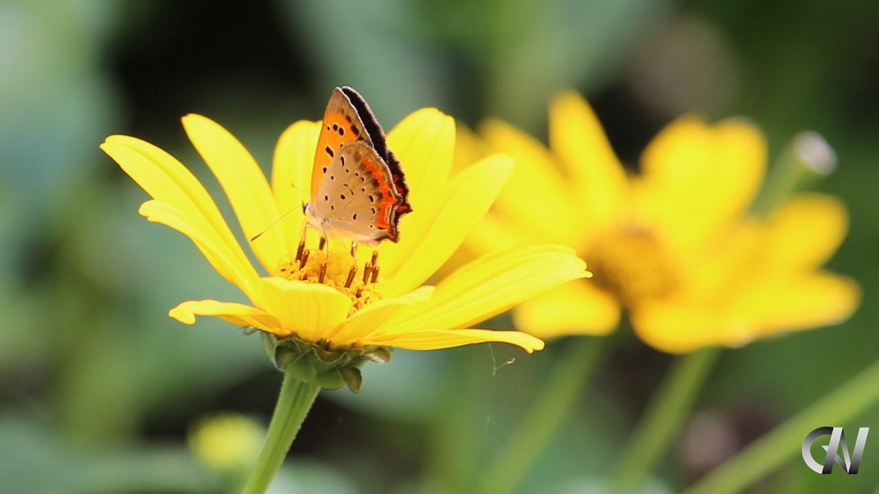 黄色い花の蜜を吸う蝶々