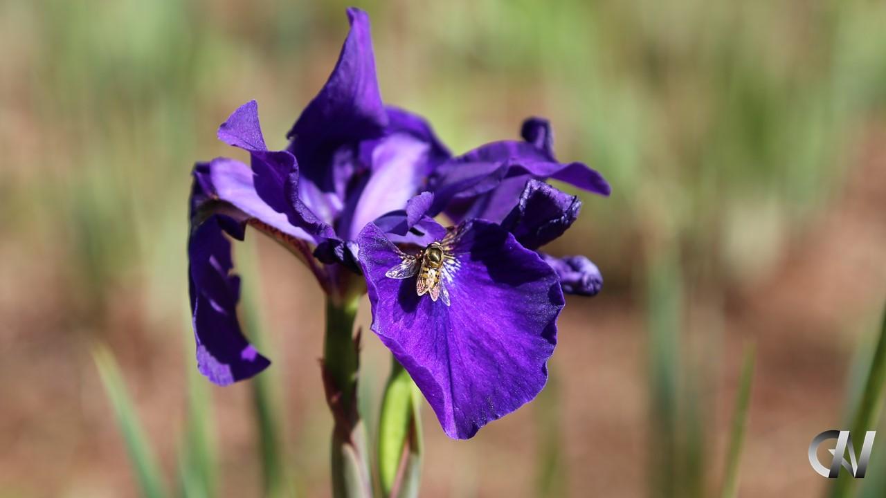 紫の花にいる蜂