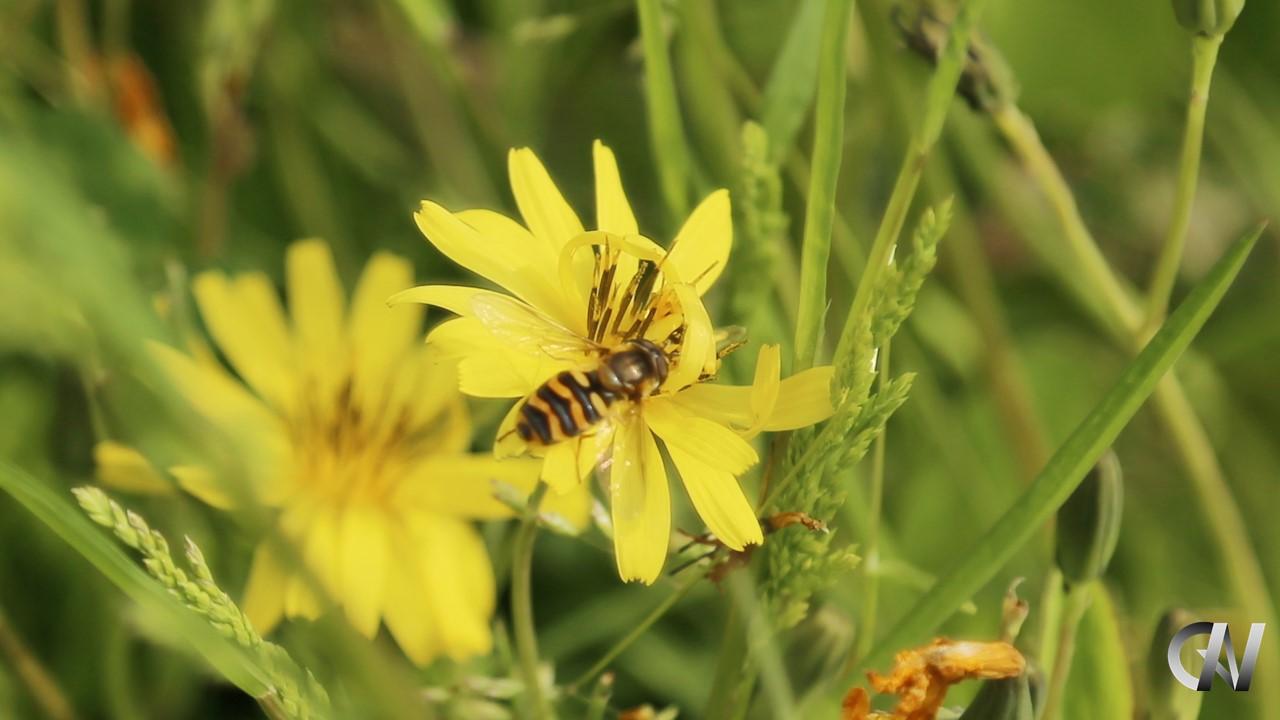 黄色い花にいる蜂
