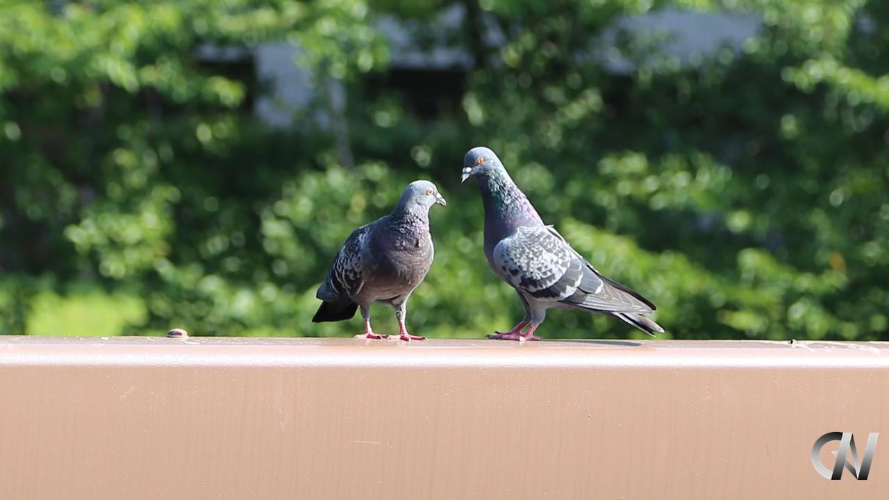 2羽の鳩がコミュニケーションしている様子