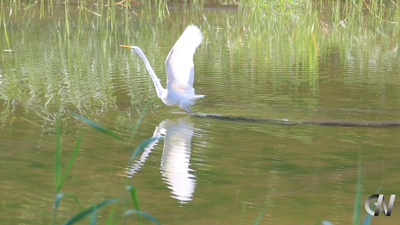 白鷺が水面から飛び立とうとする様子