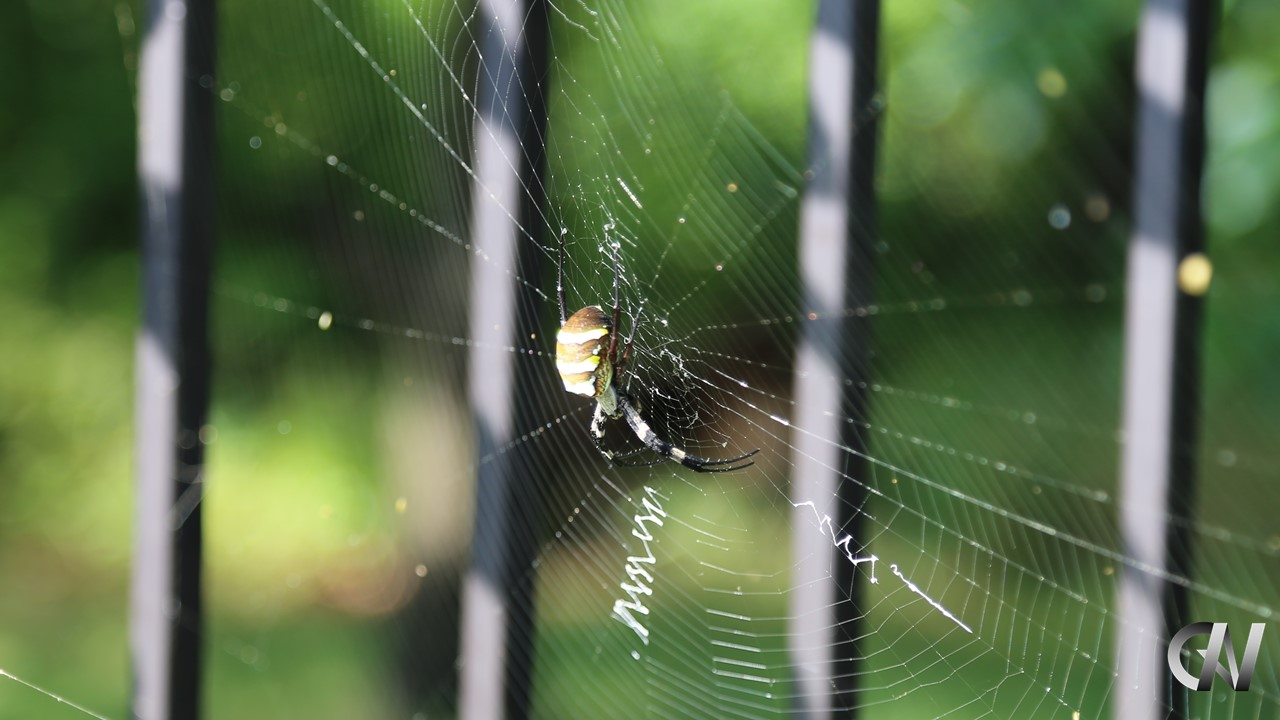 網を張り獲物を狙うクモ