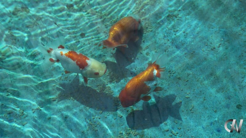 Example of Edomae Goldfishes