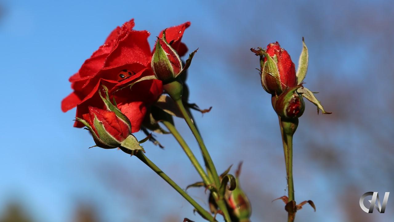 赤いバラがつぼみから育っている様子
