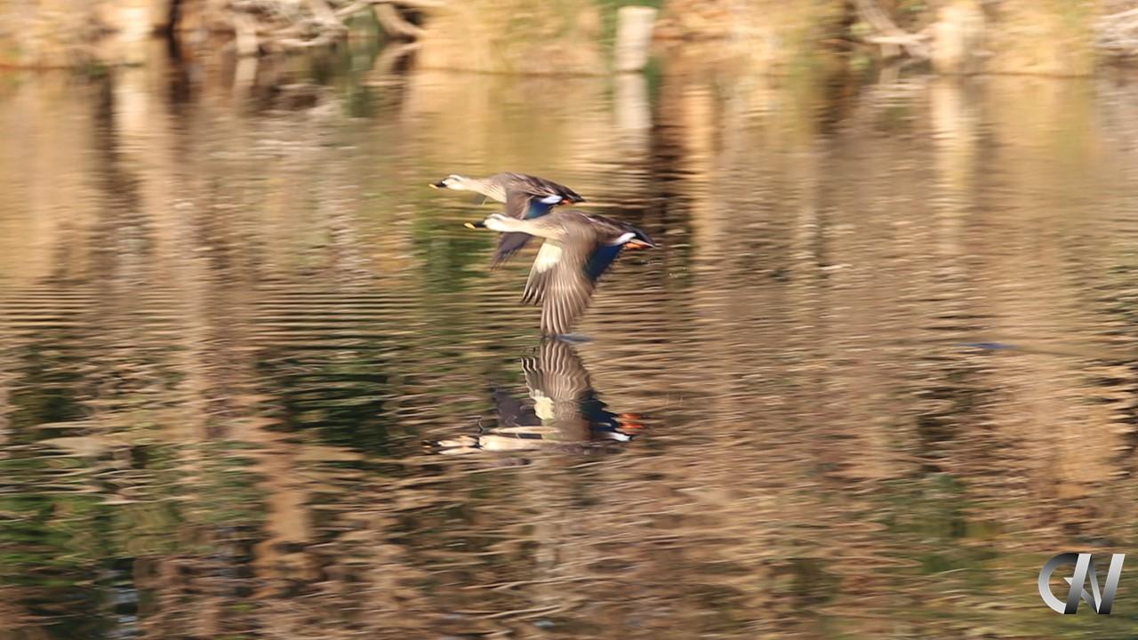 2羽の鴨のスピード競争