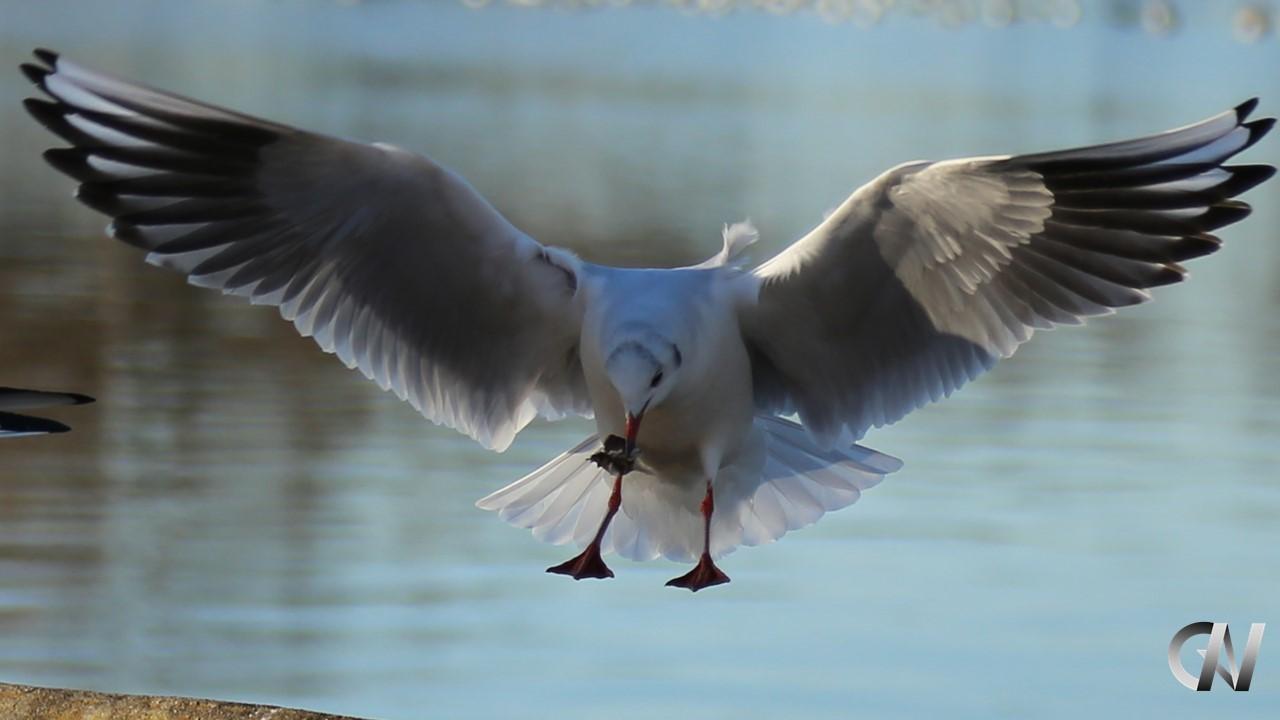 カモメが羽を拡げて着地する瞬間