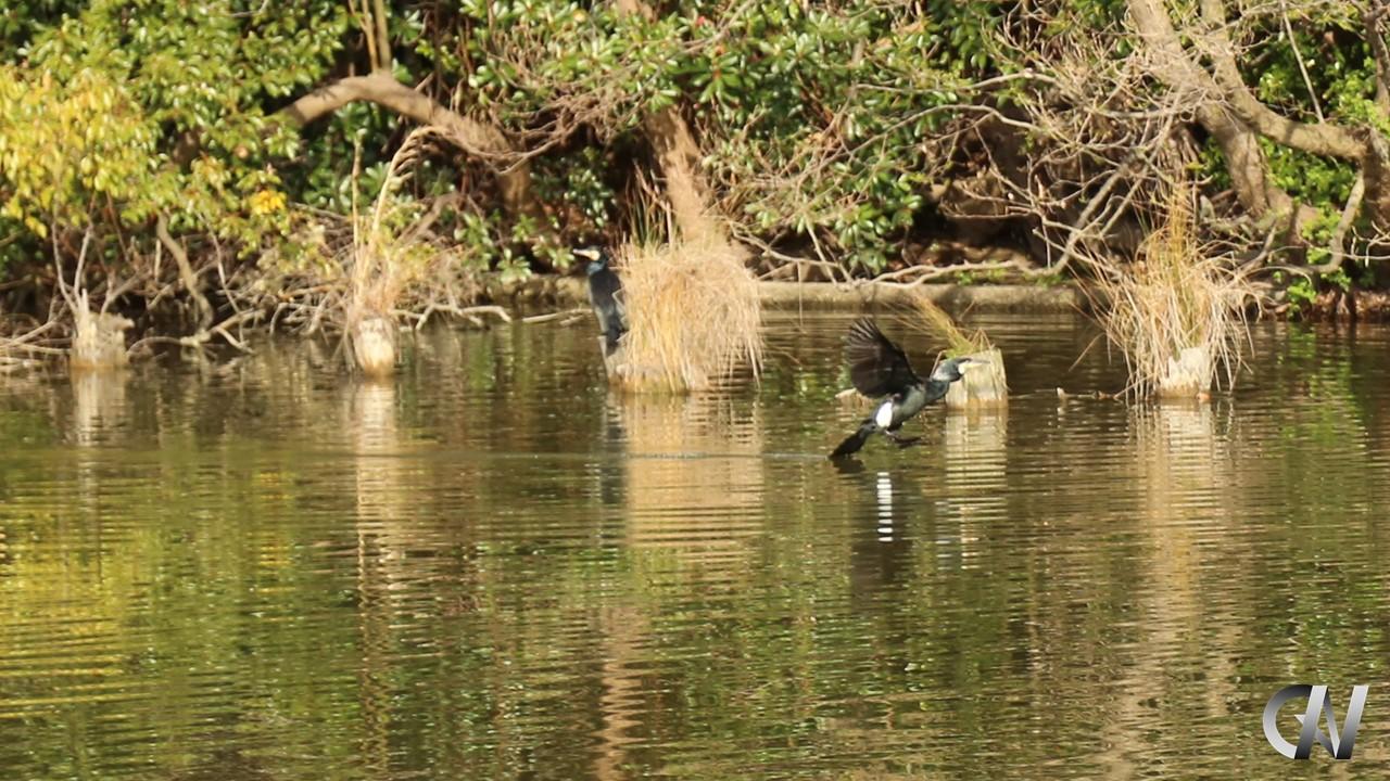 鵜が水面に着地する場面